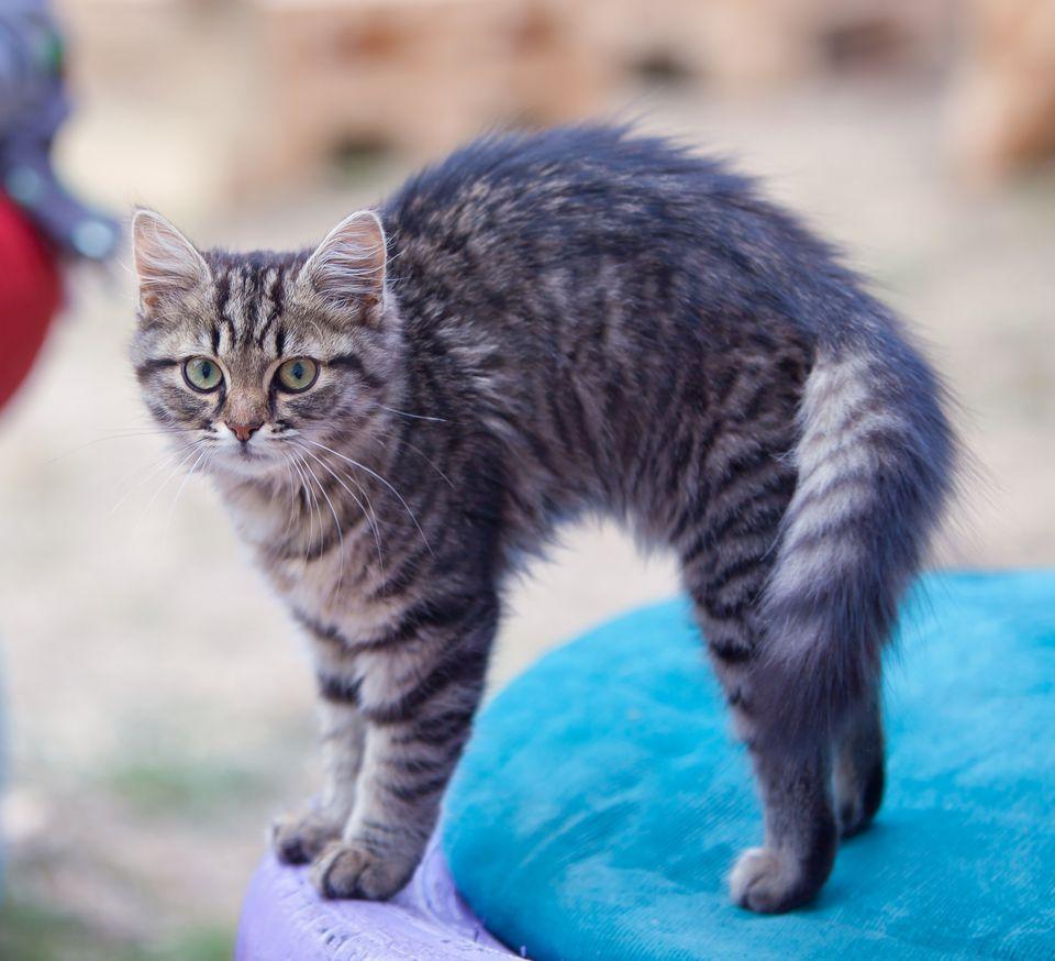 Grey Cat bends his back