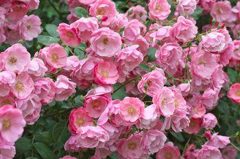 How To Prune Floribunda Rose Bushes Step By Step
