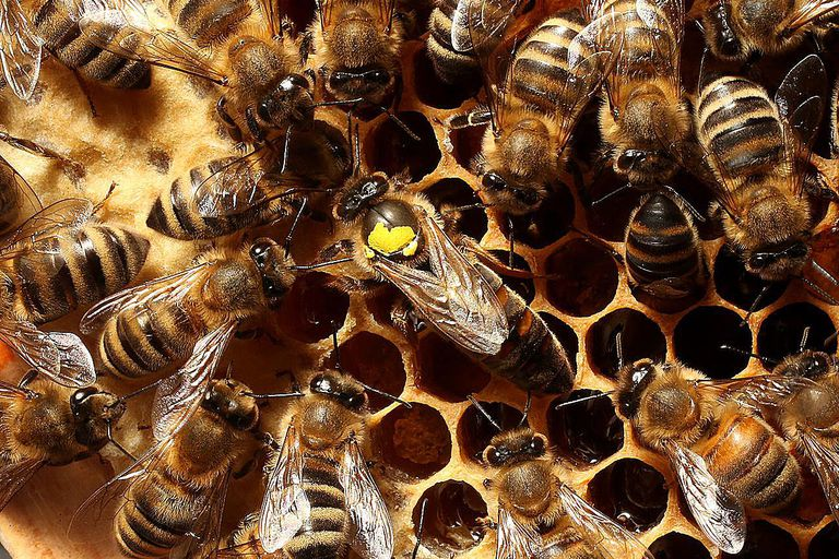 BLANKENFELDE, GERMANY - APRIL 25: Worker bees surround a queen, who is marked with a yellow spot on her back, in the colony of beekeper Reiner Gabriel in the garden of his home near Berlin on April 25, 2013 in Blankenfelde, Germany. Local beekeepers claim their yearly loss rates within their bee populations has gone from an average of 10% per year to 30% per year over the last 10 years, though they are unsure whether the cause lies with a mite and a virus it might be spreading or with the increased use of certain pesticides by local farmers. According to a recent report prepared by Greenpeace seven pesticides currently in use in Europe present a real danger to bees. Bees are essential in nature in pollenating a wide variety of plants and trees.