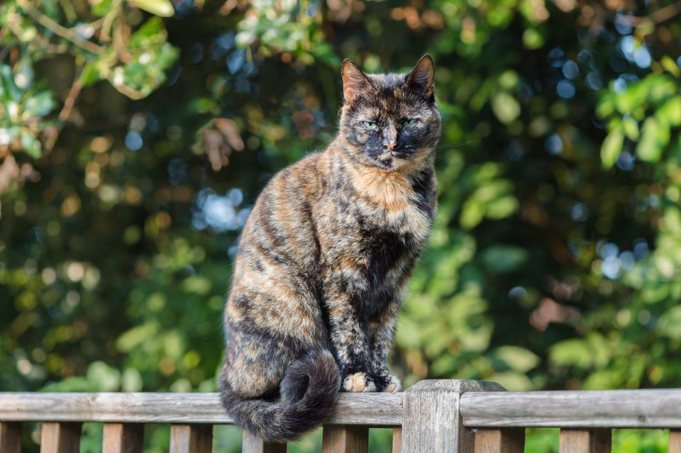 Tortoiseshell cat sitting on a fence