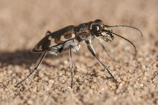 Tiger beetle.