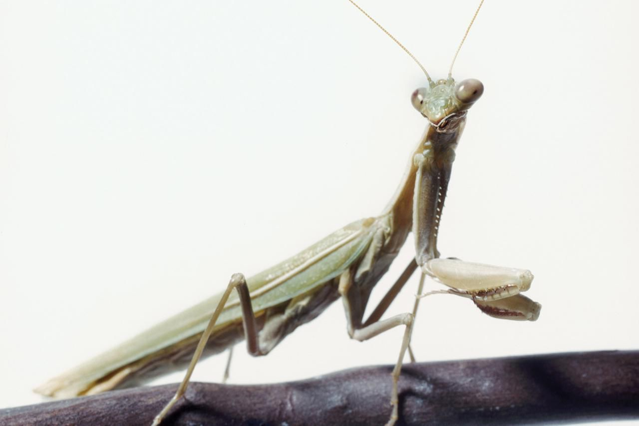 the praying mantis keeping the insect as a pet