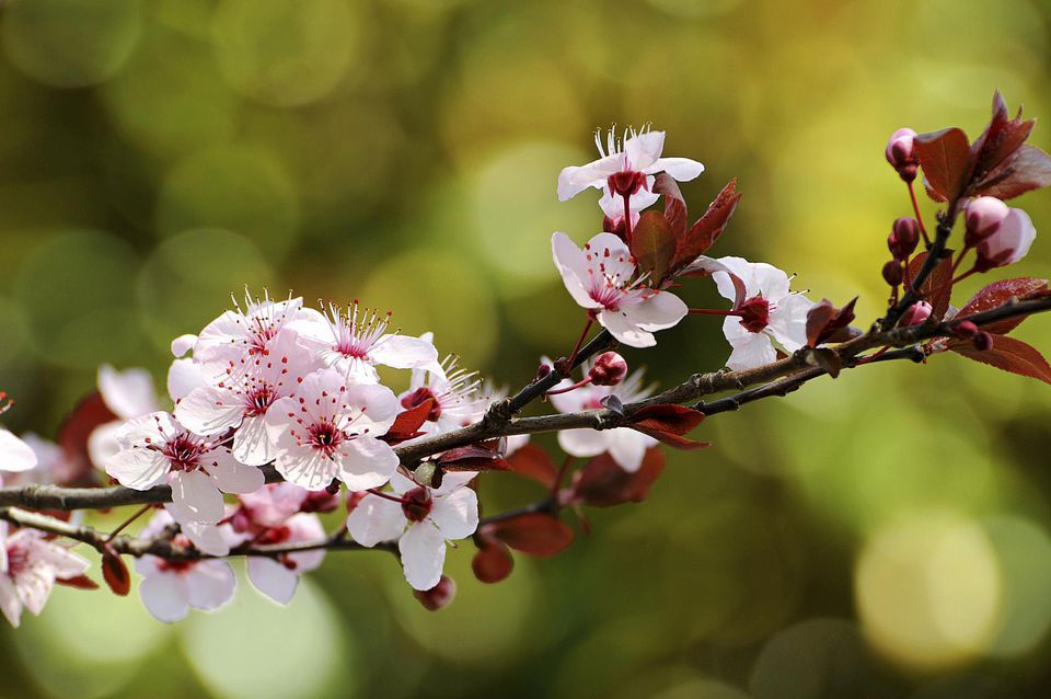 How to grow the purple leaf plum tree pink plum blossoms of purple leaved cherry plum prunus cerasifera mightylinksfo Gallery