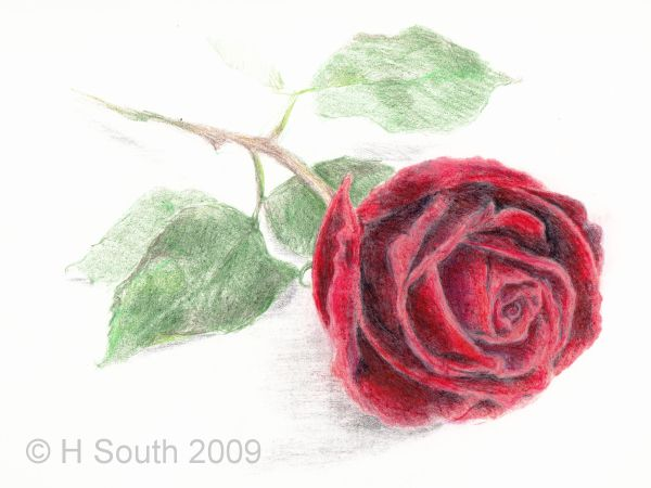 How To Draw And Color A Rose