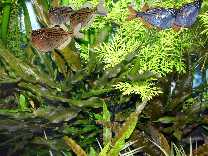 Hatchet Fish the flying fish of the aquarium