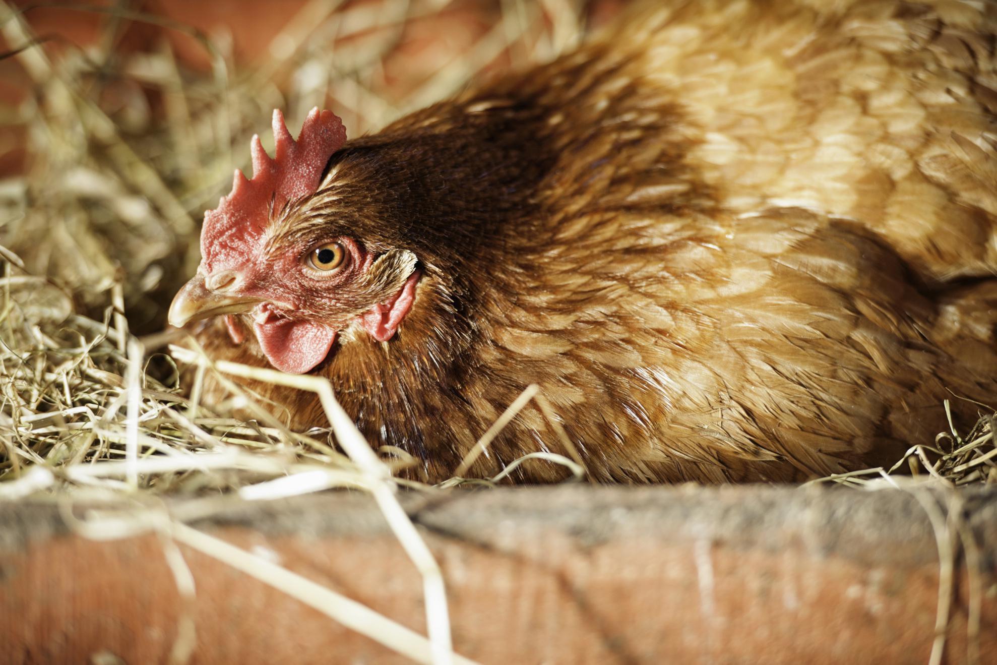 Курица несет яйцо фото