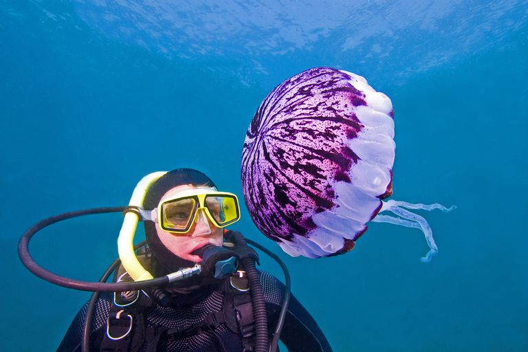 This diver gets a close up view of a purple striped jellyfish (Chrysaora colorata) off Anacapa Island in the Channel Islands National Park.