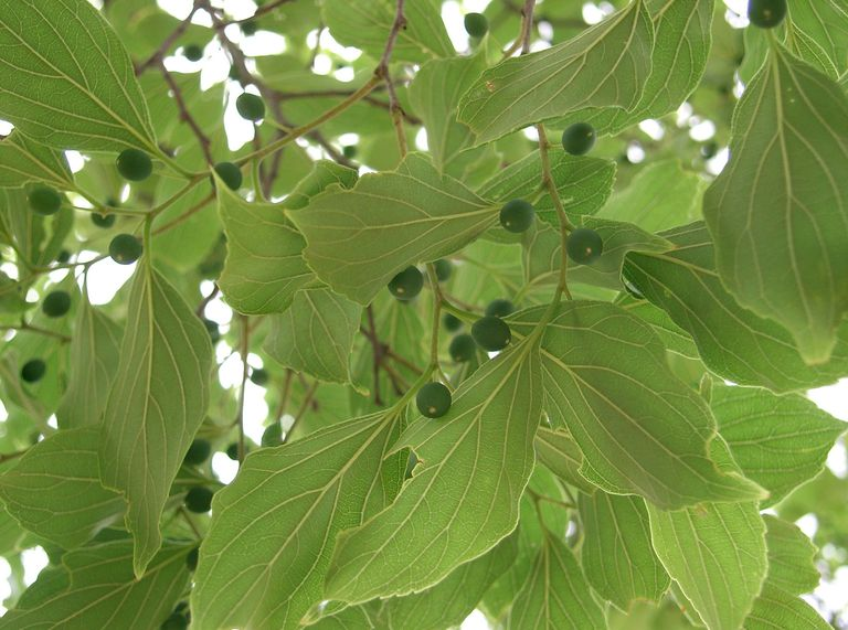 Chinese hackberry leaves and fruit