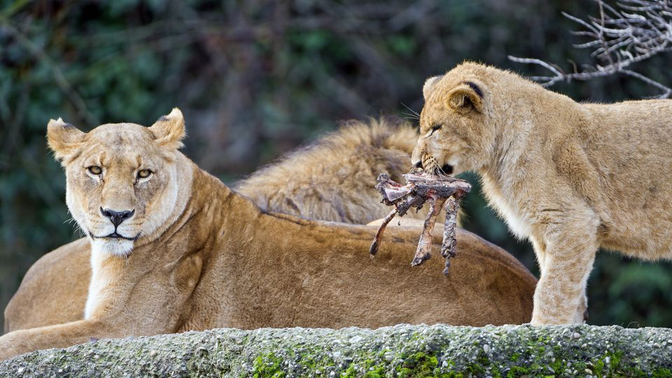 lion cub with prey