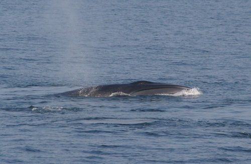 Sei Whale / Blue Ocean Society for Marine Conservation