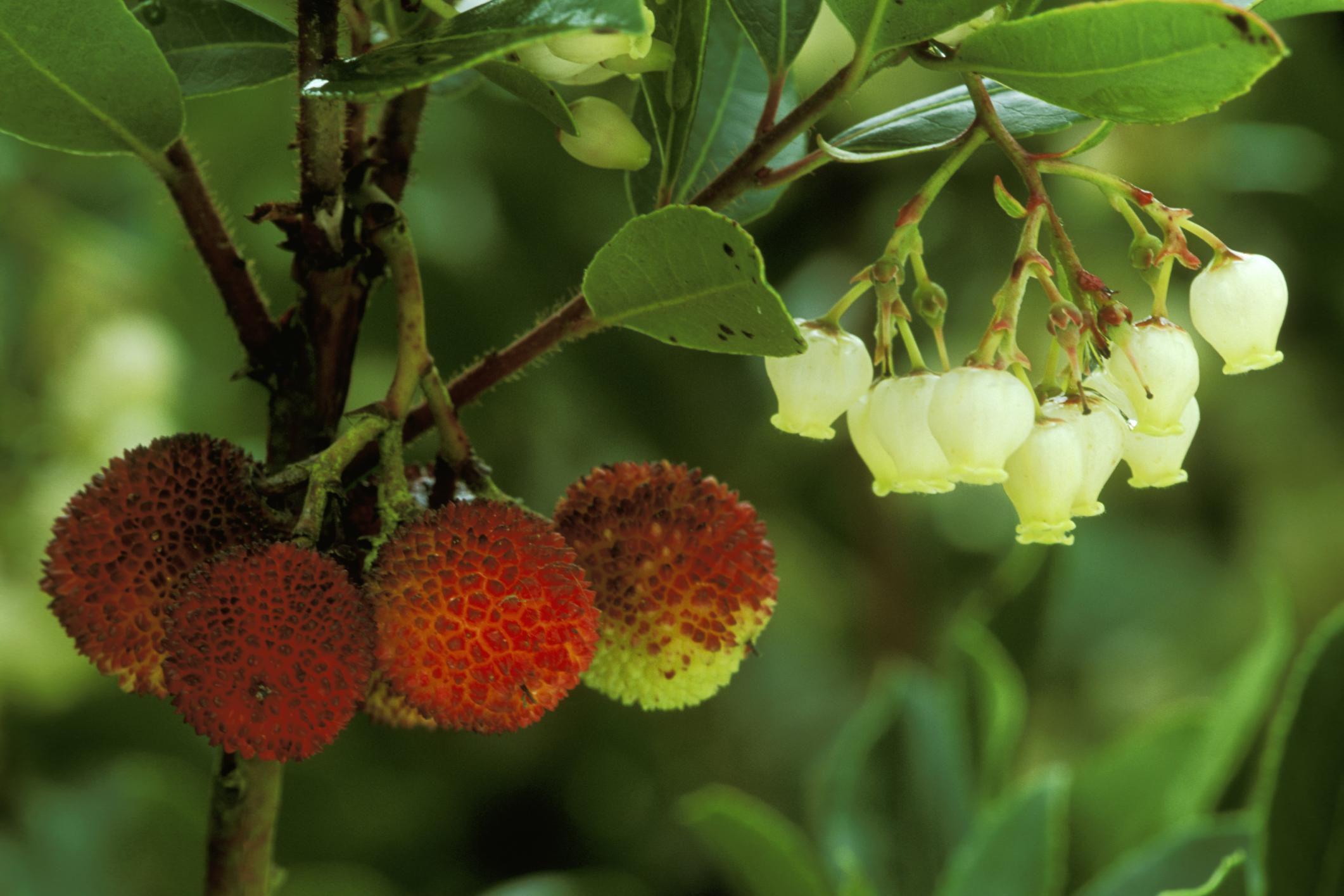 Growing the Strawberry Tree—Arbutus unedo  Strawberry