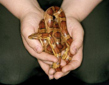 Choosing a King Snake or Milk Snake as a Pet