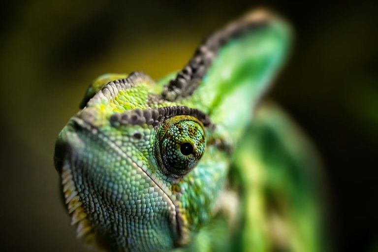 A picture of a chameleon, a type of craniate.