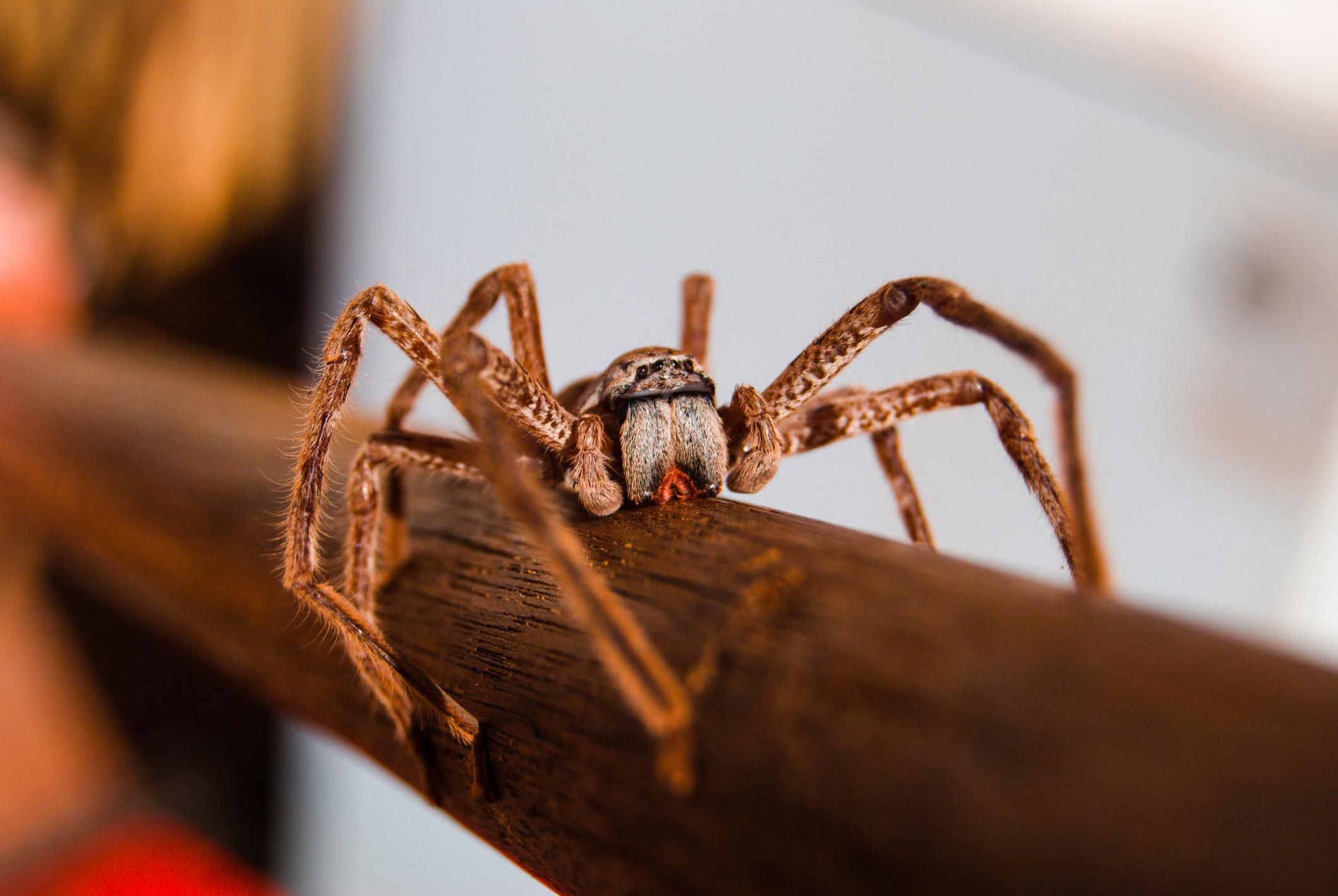 The Huntsman Quot Banana Quot Spider Is Scary But Not Deadly
