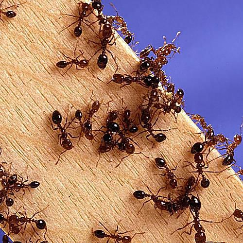 Fire Ants. Learn About All Kinds of Ants   Introduction