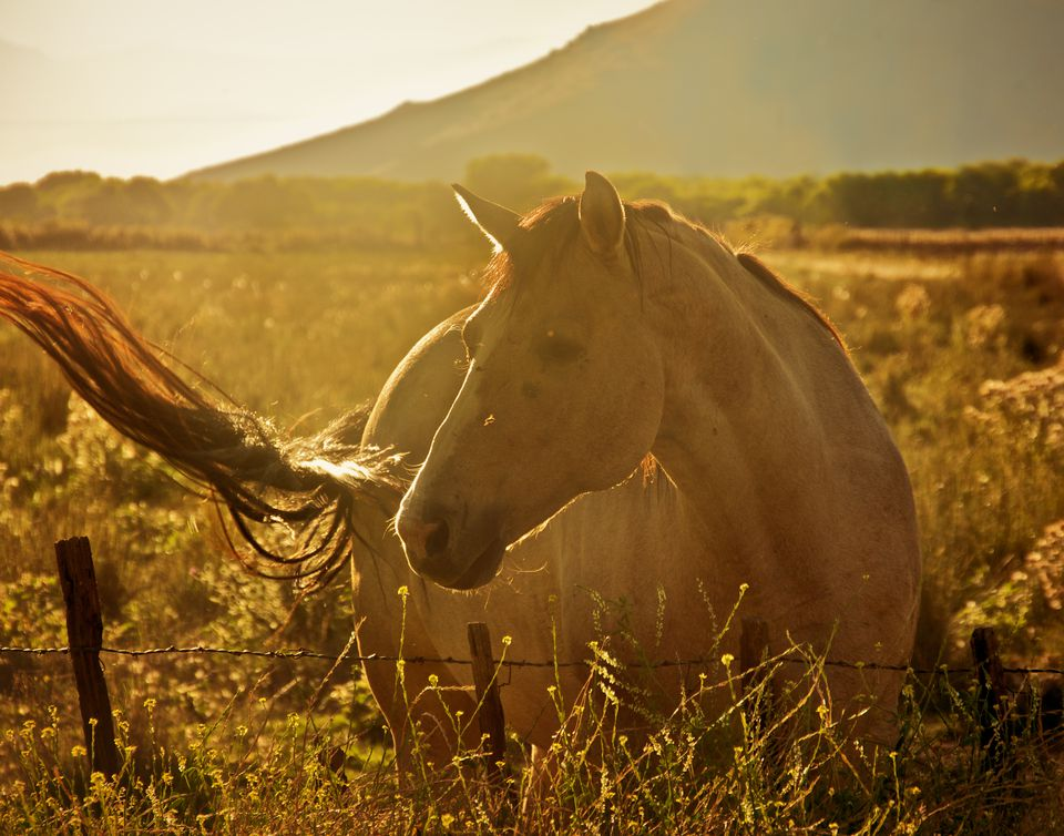 Buckskin horse swishes his tail at flies