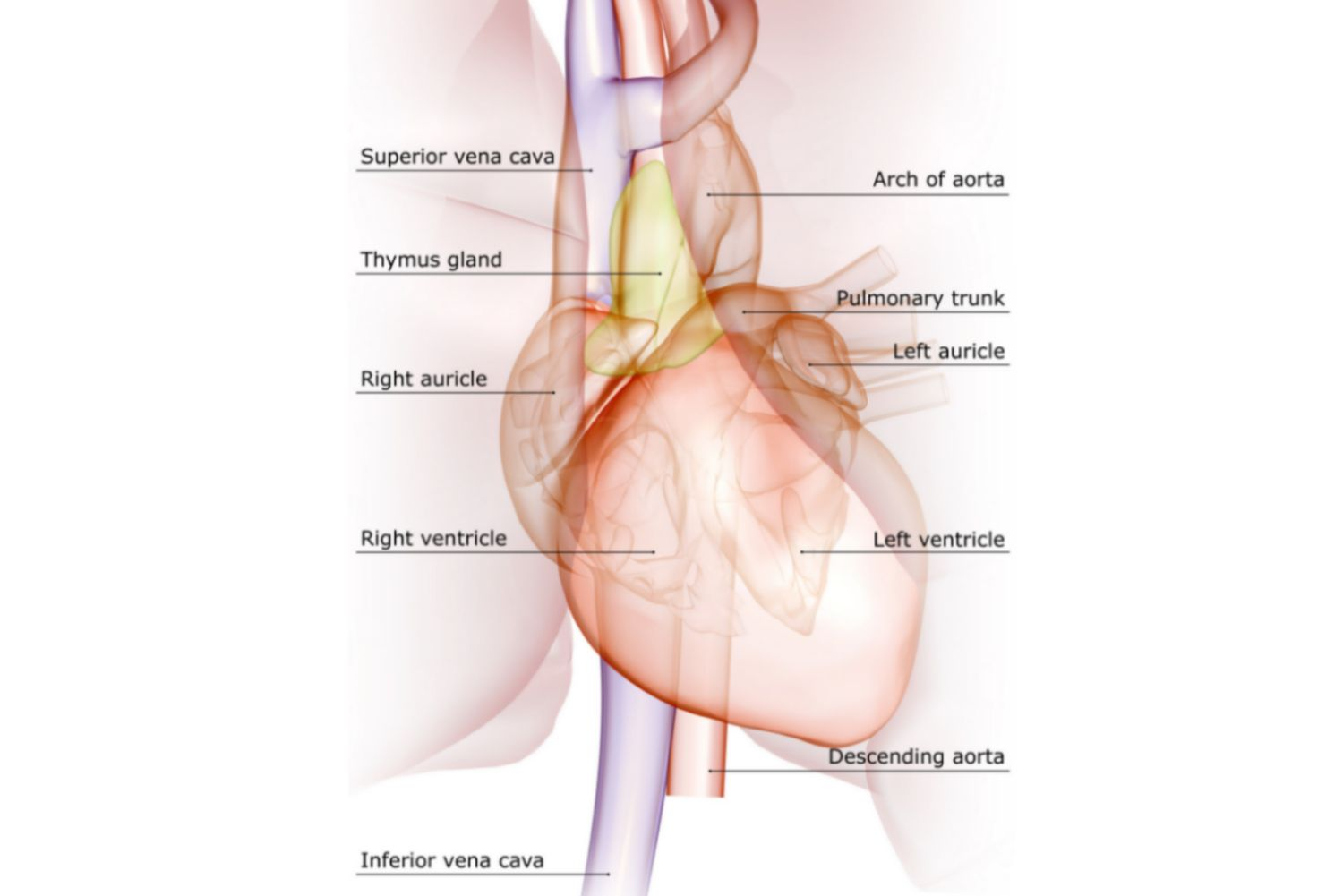 Anatomy of the heart diagram view heart and major vessels pooptronica