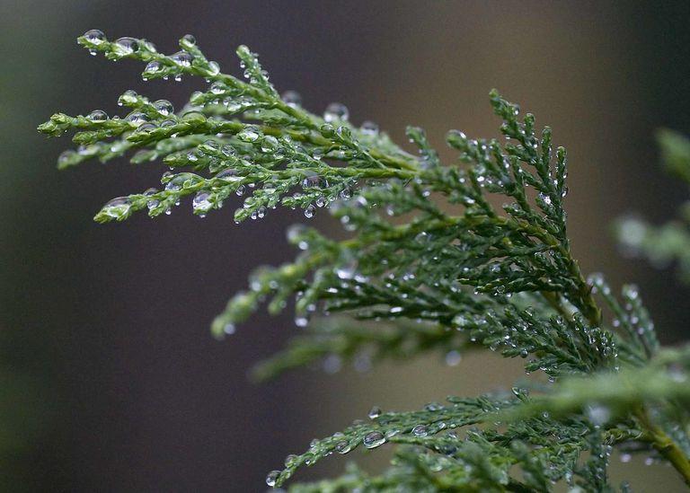 Raindrops on leyland cypress