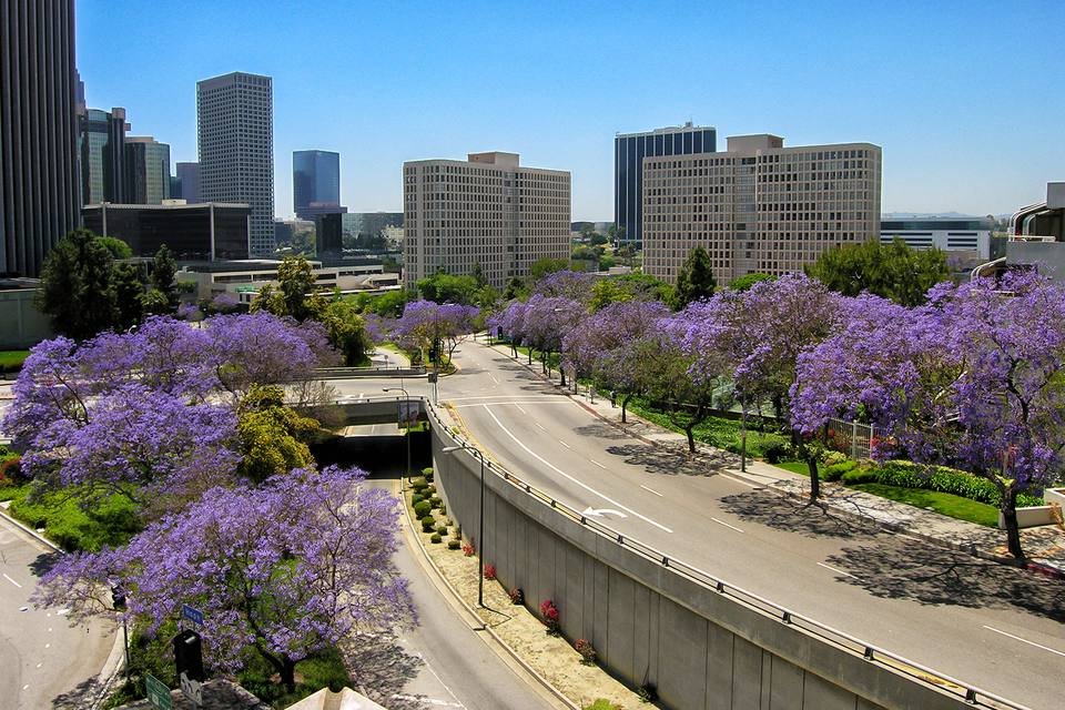 Locals know it's June in LA when the jacaranda trees bloom