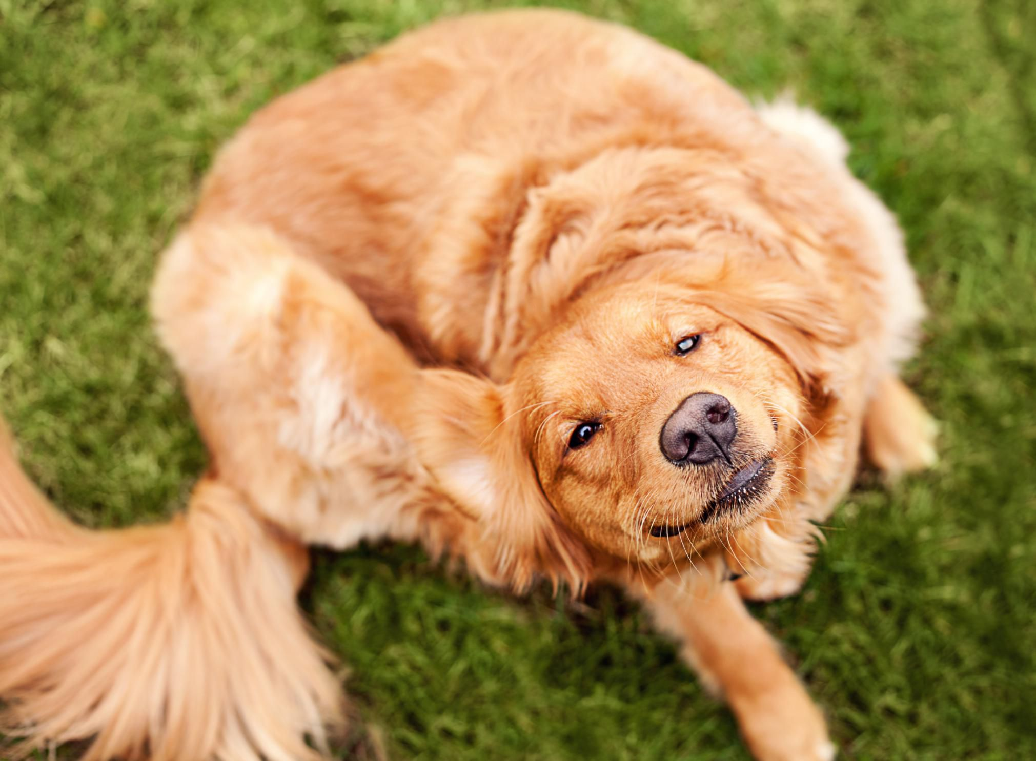 puppy fleas symptoms and treatment tips