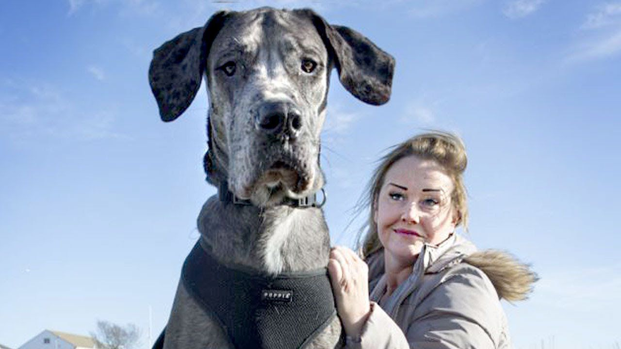 The World's Biggest Dog - photo#9