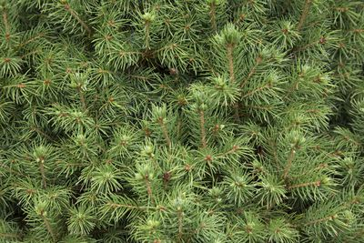 7 5 Douglas Fir Christmas Tree
