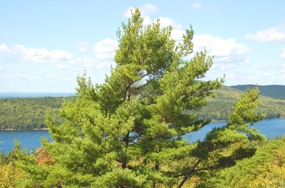 Eastern white pine tree in the wild with lake in background.