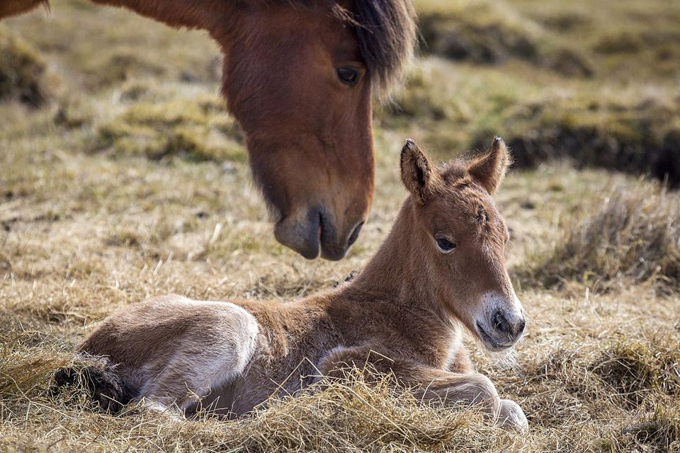 An older horse and a foal in hay