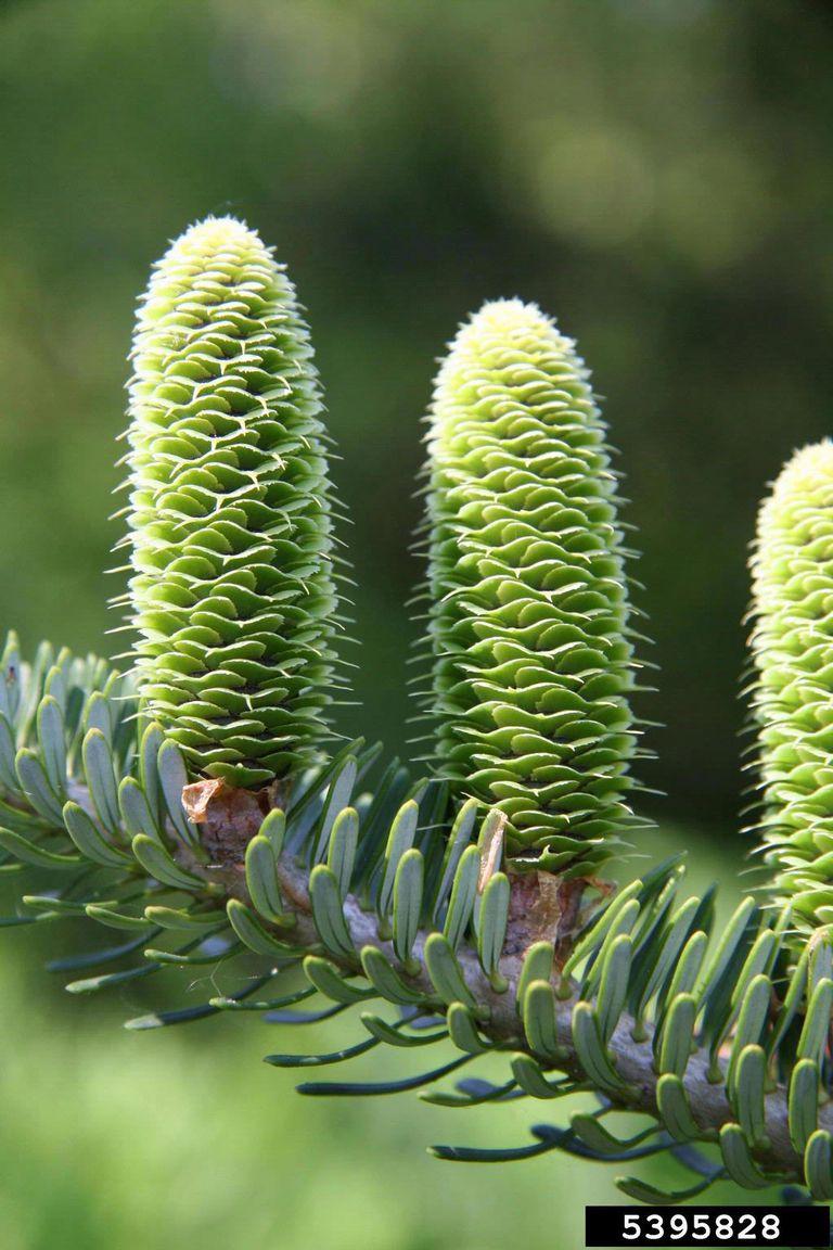 Abies needles/cones on twig