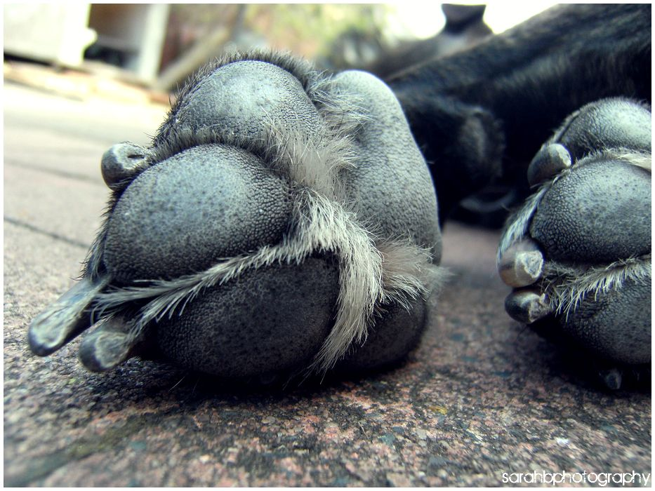 Paws of an American Staffordshire