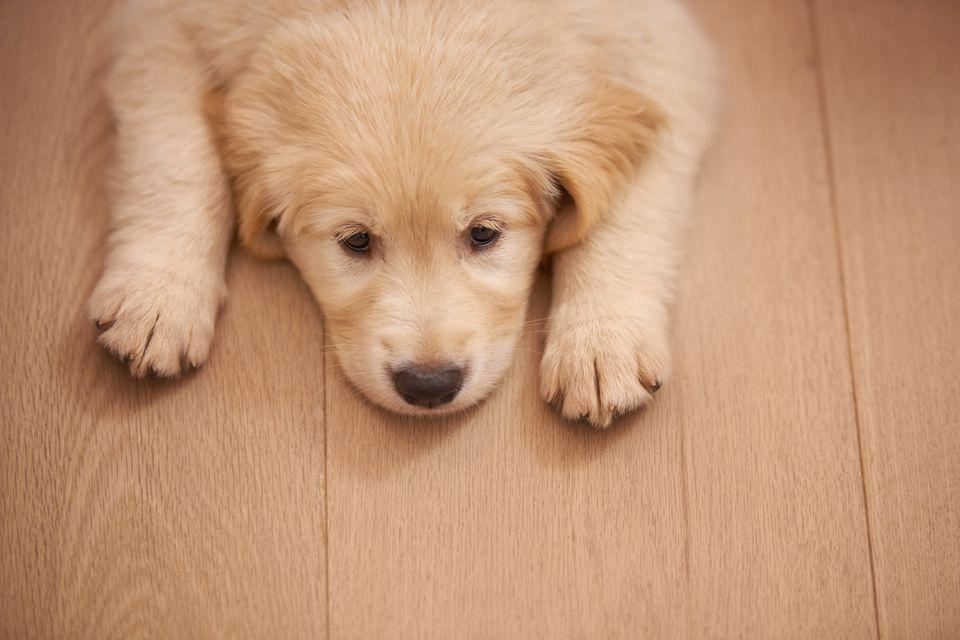 Sad puppy lying on hardwood floor