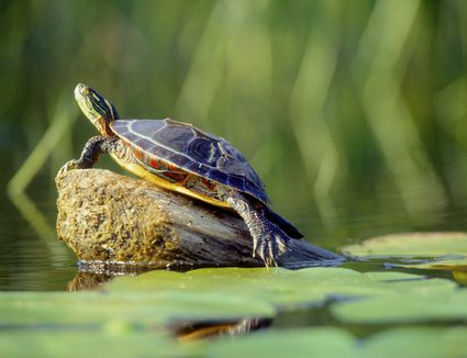 Red Eared Slider Turtle Full Grown
