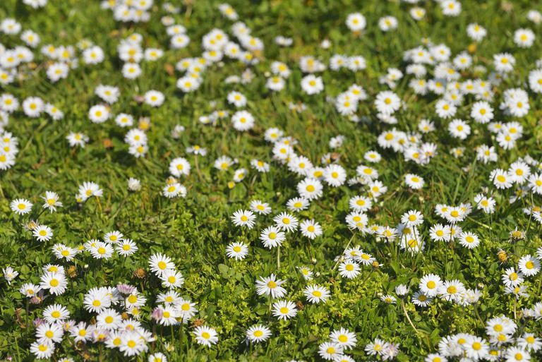 Common Daisy, Bellis perennis