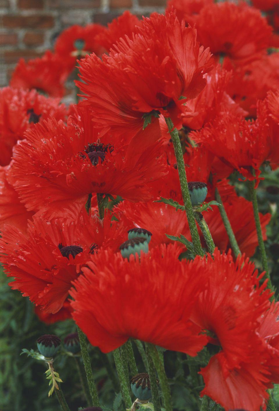 Turkenlouis Poppies