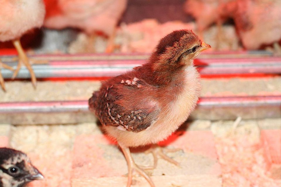 A Speckled Sussex chick.