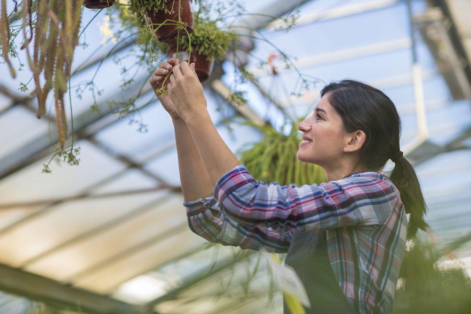 Pruning hanging basket in greenhouse