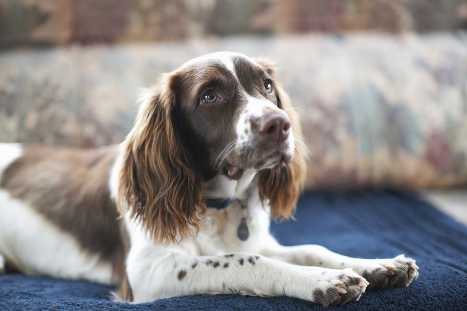 Portrait of dog, lying on sofa