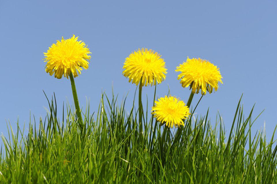 Dandelion (Taraxacum officinale) on a meadow