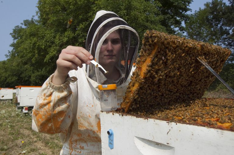 An Oregon State University beekeeper working with a hive of bees