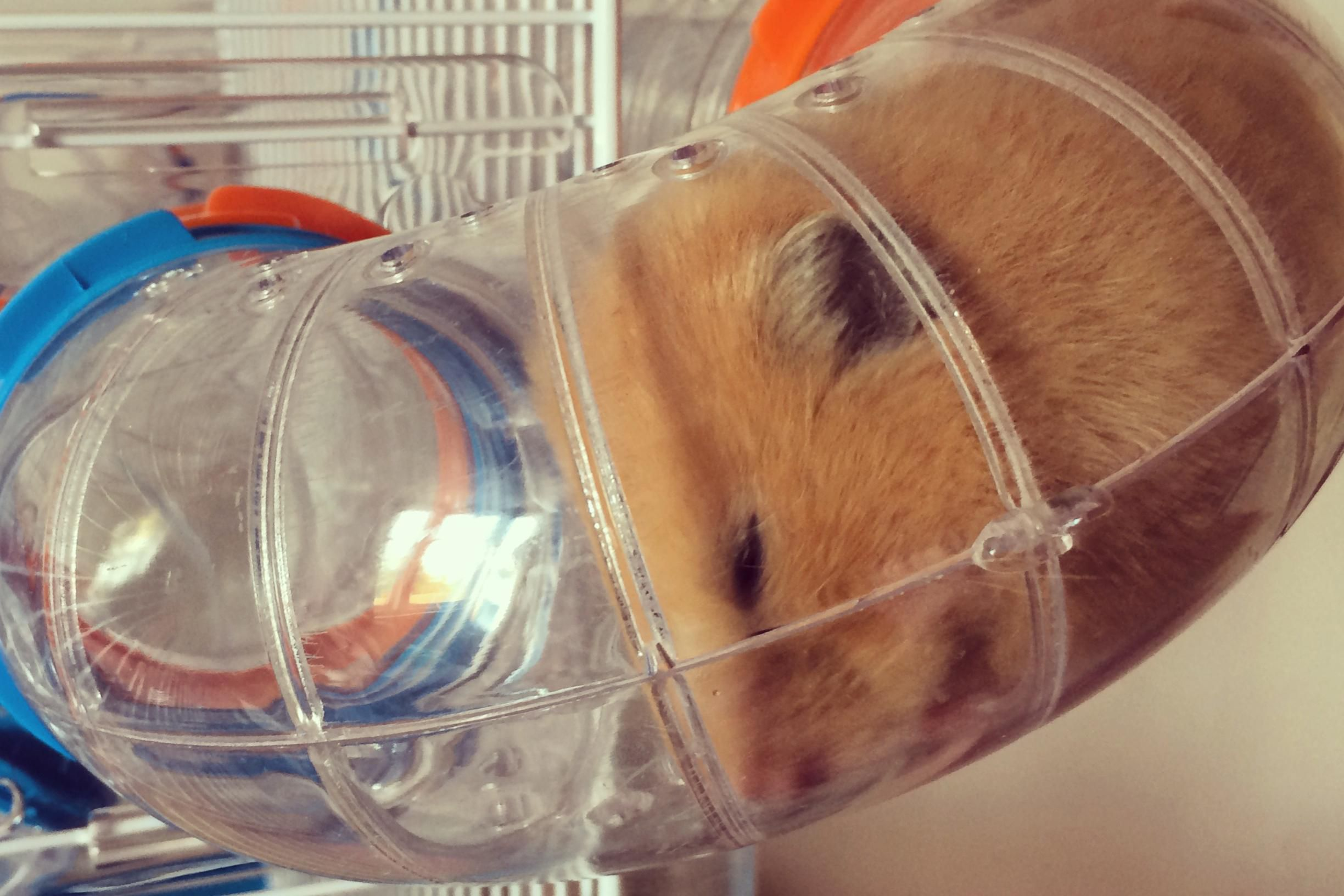Types of tunnels for guinea pigs and other pocket pets sciox Image collections