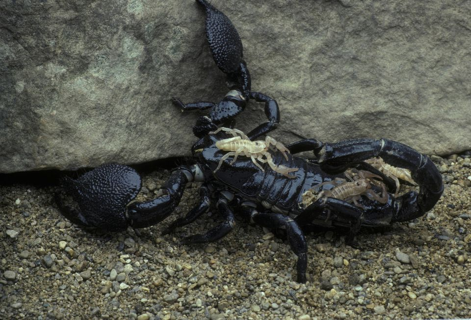 FEMALE EMPEROR SCORPION WITH YOUNG ON BACK, PANDINUS EMPERATOR, AFRICA