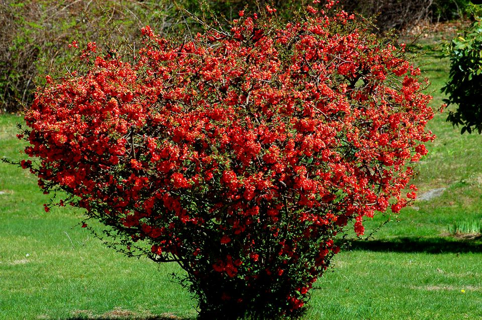 Old flowering quince shrub that has been pruned a lot. Beautiful early-spring bloomer.
