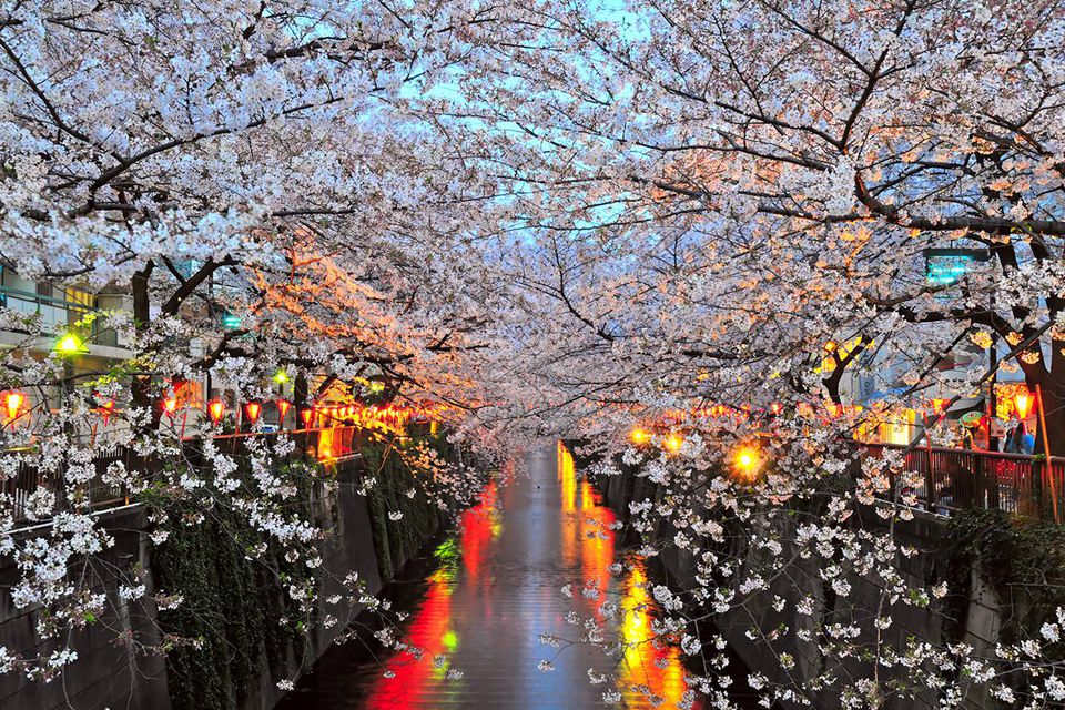 Evening cherry blossoms in Naka Meguro