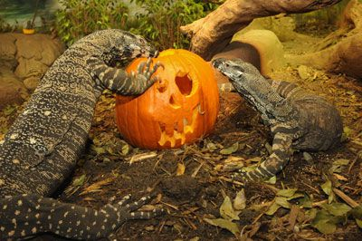 Lizards on Jack-O-Lantern at Boo at the Zoo Halloween Celebration at the Bronx Zoo