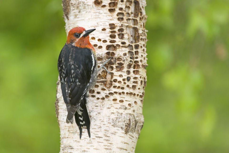 Red-breasted sapsucker (Sphyrapicus ruber), Canada.