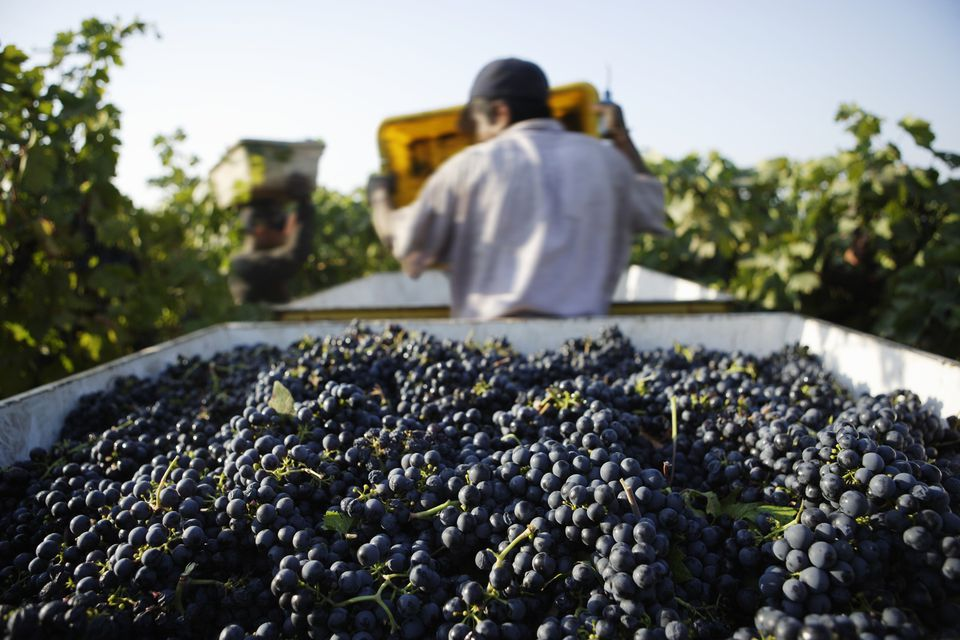 People working during grape harvest
