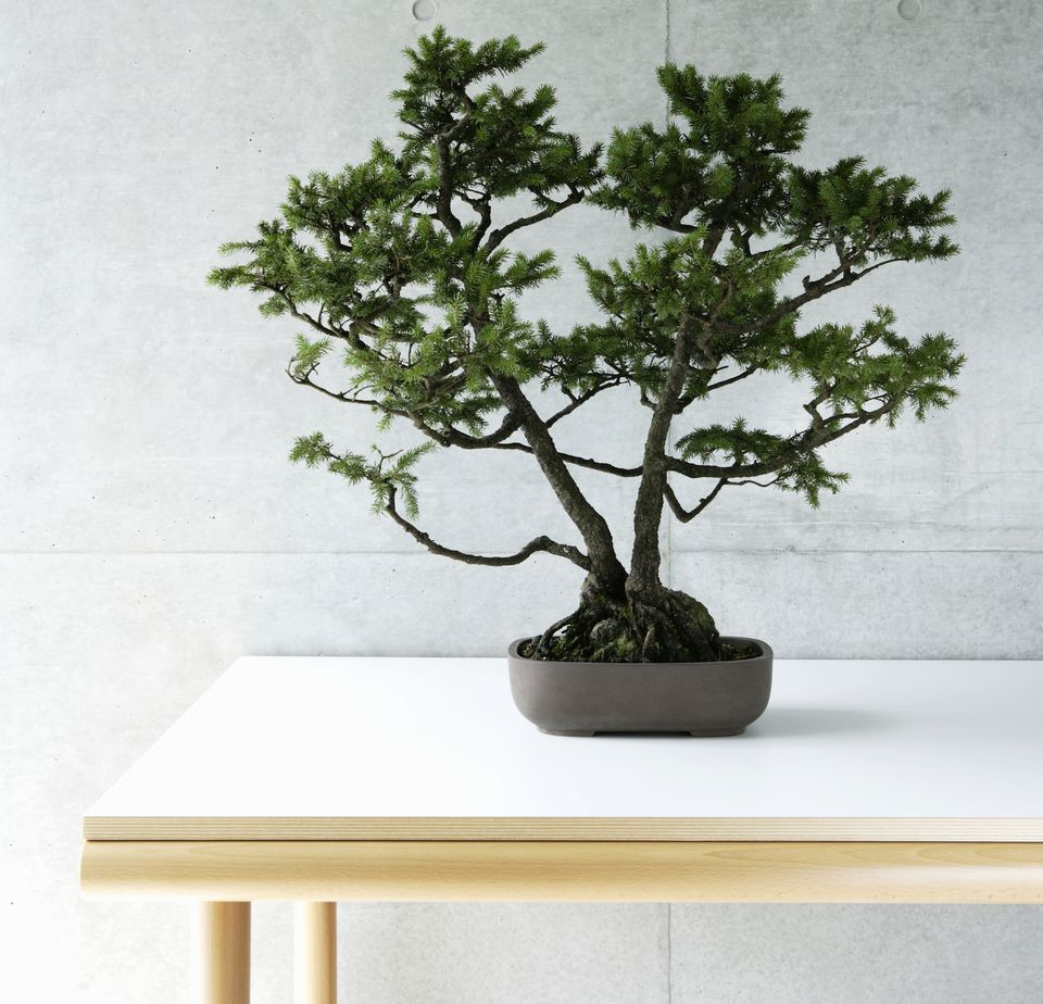 bonsai tree feng shui