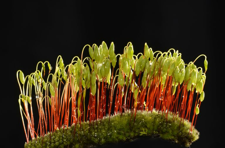Creeping feather-moss