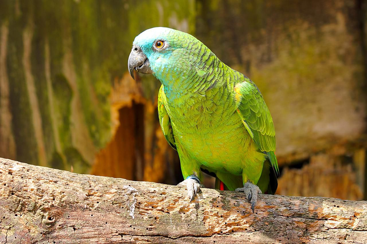 Keeping Amazon Parrots As Pets