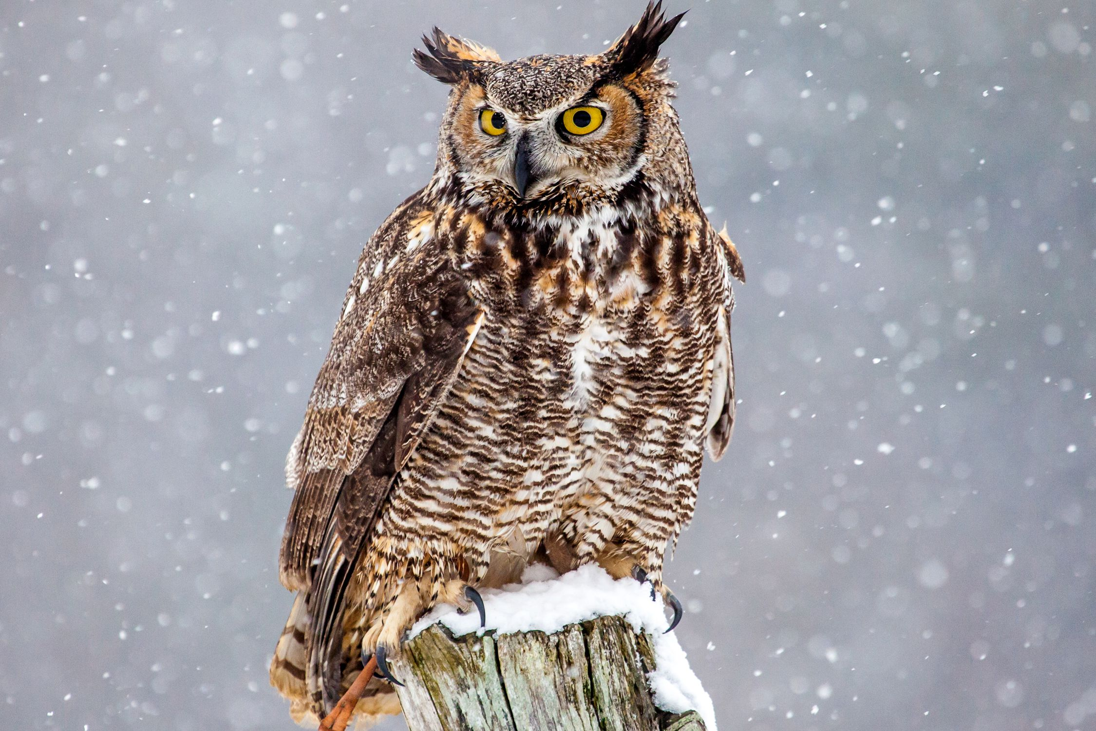 interesting facts about great horned owls - Picture Of Owl